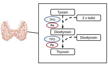 Thyroxin-Bildung