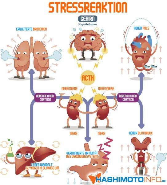 Infografik: Stressreaktion - Vorgänge die bei einer Nebennierenschwäche nicht mehr vollständig ablaufen